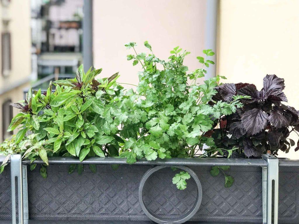 vietnamese herbs in container including vietnamese mint, coriander (cilantro), Thai basil and perilla