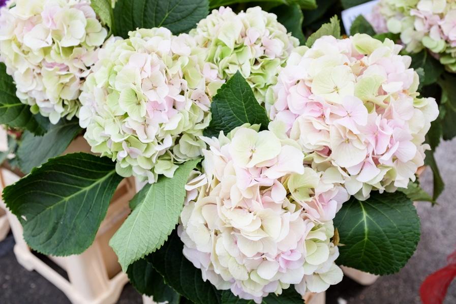 {My favourite flowers in bloom at the Bürkliplatz farmers' markets in Zurich}